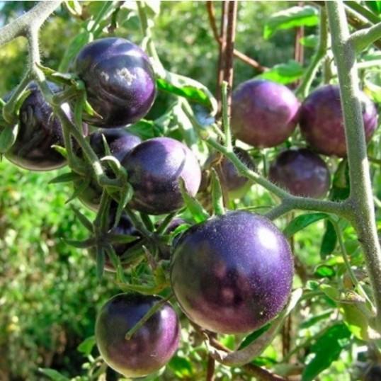 Tomates indigo précoces Bosque Blue
